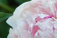 与黑暗的桃红色边缘的浅粉红色的牡丹花在中心 免版税库存照片