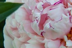 与黑暗的桃红色边缘的浅粉红色的牡丹花 库存图片