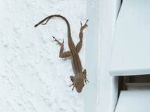 与2条尾巴的蜥蜴 免版税图库摄影