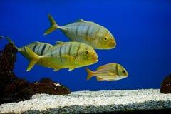 与黑条纹的黄色鱼 免版税库存图片