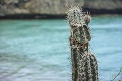 与绿松石海的仙人掌在背景中-库拉索岛,荷兰加勒比 免版税库存照片