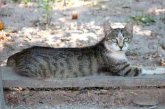 与绿松石眼睛的令人敬畏的猫 图库摄影