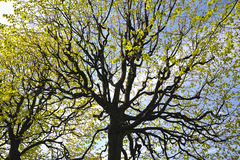 与椴树分支的抽象背景  免版税图库摄影