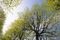与椴树分支的抽象背景  免版税库存照片