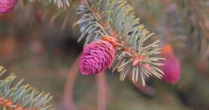 与年轻桃红色锥体的杉木分支 在分支特写镜头的年轻红色杉木锥体 股票录像