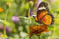 与黑橙色翼的蝴蝶在橙色花 免版税库存照片