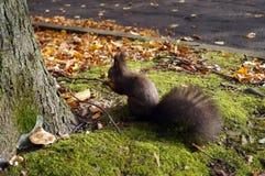 与黑毛皮和蓬松尾巴的灰鼠 免版税库存照片