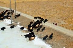 与冻河的牦牛 库存图片