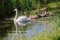 与年轻游泳的天鹅 免版税库存图片