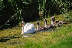 与年轻游泳的天鹅 免版税库存照片