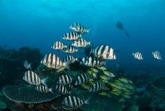 与轻潜水员的斑马鱼 库存图片
