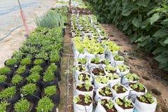 与水滴灌溉系统的菜在农田里 免版税库存照片