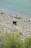 与黑熊的加拿大风景在亚伯大 加拿大 免版税库存照片