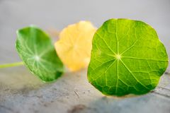 与3片金莲花叶子的静物画 库存图片