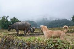 与水牛的小狗在米大阳台在Mae巴生Luang,清迈,泰国调遣 库存照片