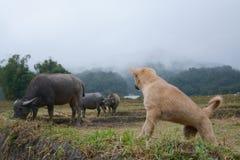 与水牛的小狗在米大阳台在Mae巴生Luang,清迈,泰国调遣 免版税库存照片