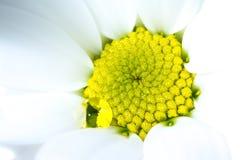 与水特写镜头宏观背景纹理黄色核心和下落的白色菊花花  免版税库存照片