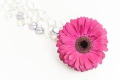 与玻璃珠的桃红色大丁草jamesonii 库存图片