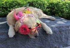 与玻璃的狗佩带的花 免版税库存照片