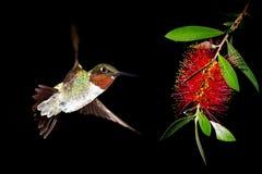 与洗瓶刷花的蜂鸟在黑背景 免版税图库摄影