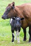 与黑白小牛的常设棕色母亲母牛 库存照片