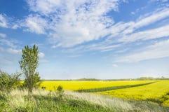 与年轻白杨树的小山在开花的强奸领域和蓝天中 免版税图库摄影