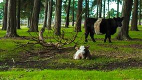与黑白母牛的白色和棕色小牛母牛 图库摄影