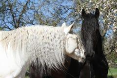 与黑黑白花的马的白色安达卢西亚的马 免版税库存照片