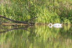 与头的一只天鹅在水下 免版税图库摄影