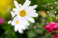 与水滴的一朵雏菊花在草甸的 在雨以后 图库摄影