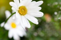 与水滴的一朵雏菊花在绿色背景的 阿富汗尼的 免版税库存照片