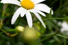 与水滴的一朵雏菊花在绿色背景的 免版税库存照片