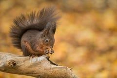 与他的保持他的尾巴的红松鼠温暖 库存照片