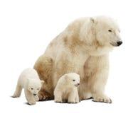 与崽的北极熊在白色 免版税库存照片