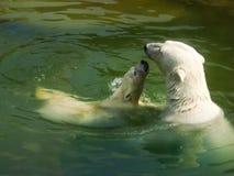 与崽的北极熊 库存图片