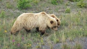 与崽的北美灰熊 免版税图库摄影
