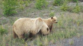 与崽的北美灰熊 免版税库存照片