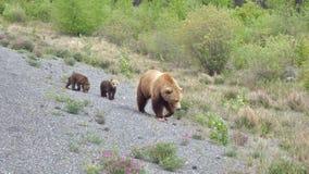 与崽的北美灰熊 免版税库存图片