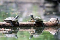 与他们的反射的被绘的乌龟在水中 免版税库存图片
