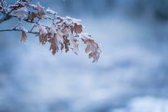 与死的叶子的美好的结冰的树枝 免版税库存图片