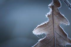 与死的叶子的美好的结冰的树枝 免版税图库摄影