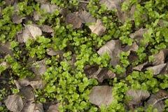 与死的叶子的绿色地被植物 免版税库存照片