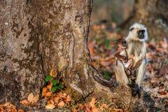 与崽的叶猴坐在日落光的树根 Hanuman叶猴, Grauer叶猴共同的叶猴Presbytis entellus 叶猴修士 免版税库存图片