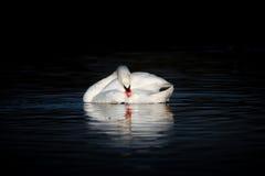 与头的天鹅下来在黑暗的湖 免版税库存图片