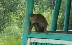 与他的妈妈的小的猴子 免版税图库摄影