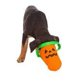 与头的小狗在Haloween南瓜篮子 图库摄影