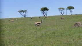 与崽的山羊在自然环境里 免版税图库摄影