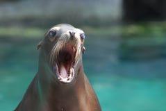 与他的幼小海狮大开的嘴 库存图片