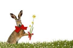 与黄水仙的微笑的复活节兔子 免版税图库摄影