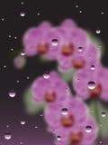 与水滴的桃红色兰花  免版税库存图片
